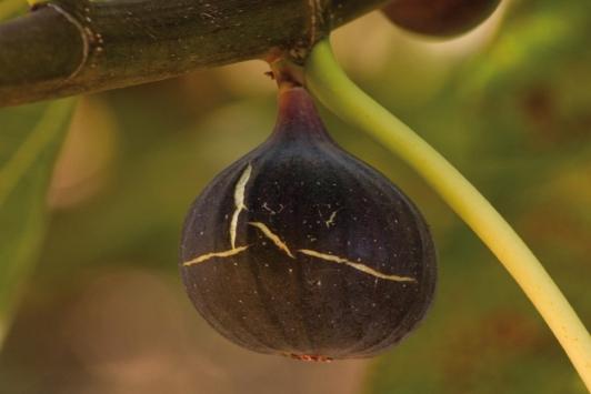 Hyères - figues