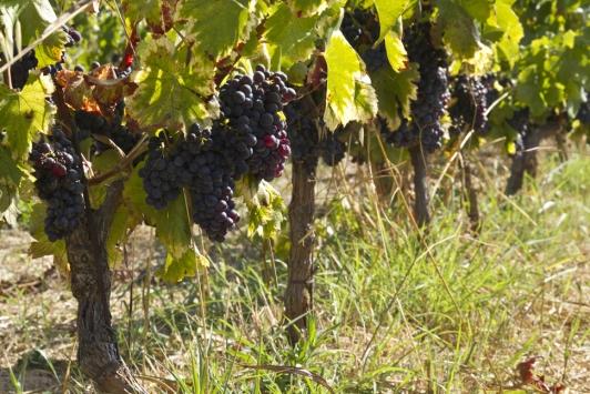 Ollioules - Vignes