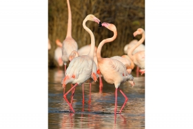 Flamants roses © A. Audevard