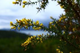 Les fleurs jaunes de l'argelas - © Vincent Vellutini